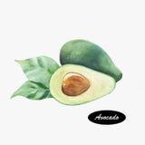 Hand gezeichnete Aquarellmalerei der Avocado Stockbilder