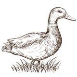 Hand gezeichnete Ente Stockbilder