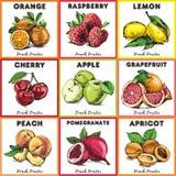 Hand gezeichnete Farbskizzenfrüchte Weinlesefahne der frischen Frucht Stockbilder