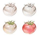 Hand gezeichnete Illustration einer Tomate lizenzfreie stockfotografie