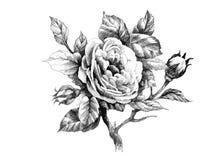 Hand gezeichnete rosafarbene Blume des Gartens lokalisiert auf weißem Hintergrund Stockbilder