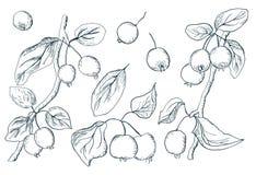 Hand gezeichneter Satz Elemente mit Paradies aplple Zweigen in der Zwischenlage auf einem weißen Hintergrund Fruchtvektor-Symbols stock abbildung