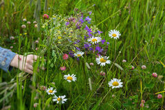 Hand of Girl with bouquet of beautiful wildflowers on background of summer meadow with chamomiles, clover. Concept of Stock Photography