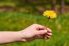 Hand girl holds a yellow dandelion in the nature Stock Image