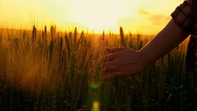 Hand of a girl passing through a field of wheat, a flesh shot. stock footage