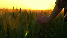 Hand of a girl passing through a field of wheat stock footage
