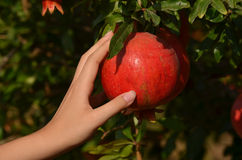 Hand of girl with the pomegranate Stock Image