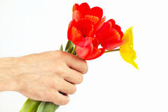 Hand gives a bouquet of red and yellow tulips on white background Stock Photography