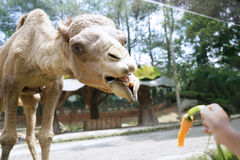 Hand gives a carrot to camel Stock Photo