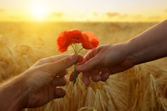 Hand gives a flower of poppies with love at sunset. Stock Image