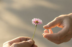 Hand gives a flower. Hand gives a wild flower with love. romance, feelings Stock Photo