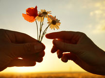 Hand gives a flowers with love at sunset. Romantic concept Royalty Free Stock Photography