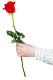 Hand giving one flower - red rose isolated Royalty Free Stock Image
