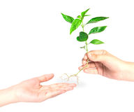 Hand giving a tree on white. Background Royalty Free Stock Photos