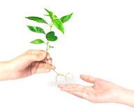 Hand giving a tree on white Royalty Free Stock Photo