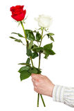 Hand giving two white and red roses isolated Royalty Free Stock Photo