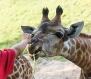 Hand giving a yardlong bean to the giraffe Stock Image