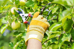 Hand in glove with gardener shears Stock Photos