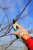 Hand in Glove with Gardener Shears Stock Photo