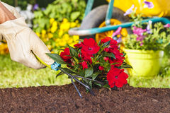 Hand with glove using a rake on red flowers Stock Photography