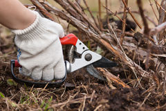 Hand in gloves pruning raspberry with secateurs Royalty Free Stock Photo