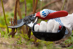 Hand in gloves pruning raspberry royalty free stock photography