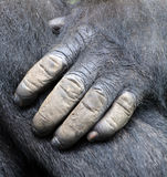 Hand of Gorillas. Are the largest extant species of primates. They are ground-dwelling, predominantly herbivorous apes that inhabit the forests of central royalty free stock photo