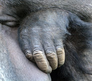 Hand of Gorillas. Are the largest extant species of primates. They are ground-dwelling, predominantly herbivorous apes that inhabit the forests of central stock images