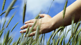 Hand and grain Royalty Free Stock Photography