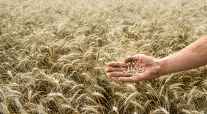 Hand of the grain-grower against a wheaten field. Hand of the grain-grower against a wheat field Stock Photo