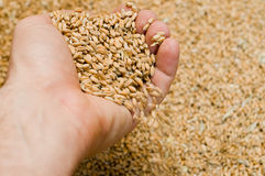 Hand with grains. Grains of wheat are in a hand Royalty Free Stock Photos