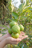 Hand and Green lemon on tree. Royalty Free Stock Photography
