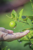 Hand And Green Lemon On Tree. Hand and Green lemon on tree in vegetable gardening royalty free stock photography