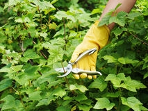 Hand with green pruner in the garden. Royalty Free Stock Photos