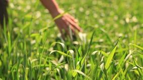 Hand green wheat stock footage