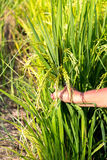 Hand grip crops near harvest time in rice field. Royalty Free Stock Photos