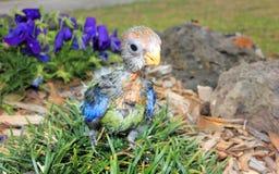 Hand grootgebrachte baby Australische oostelijke Rosella Royalty-vrije Stock Afbeeldingen