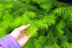 Hand hält einen Niederlassungstannenbaum stockfotografie