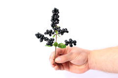 Hand hält einen Zweig der schwarzen Beeren an Lizenzfreies Stockbild