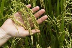 Hand hält Reisohren Lizenzfreie Stockbilder