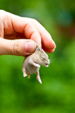 Hand with hamster pup Royalty Free Stock Photography