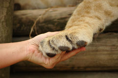 Hand in hand. Image of a female Caucasian hand of a gamekeeper holding the paw of an African lion in a game reserve in South Africa
