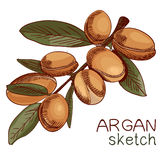 Hand Hand drawn argan, branch sketch. Colored. VECTOR artbottle with oil. VECTOR illustration. Yellow-orange. Hand drawn argan, branch sketch. Colored. VECTOR stock illustration