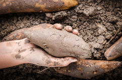 Hand handle Yacon root. Hand handle fresh yacon root on the loose soil Royalty Free Stock Image
