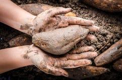 Hand handle Yacon root. Hand handle fresh yacon root on the loose soil Stock Photography