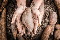 Hand handle Yacon root. Hand handle fresh yacon root on the loose soil Stock Images