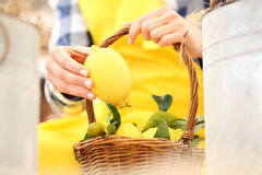 Hand harvest a lemon and put it in the basket Royalty Free Stock Photography