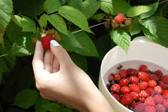 Hand harvesting one raspberry. Woman hand picking growing raspberry outdoor and putting them in plastic white bowl with water Royalty Free Stock Photos