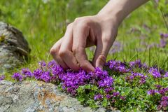 A hand harvesting Wild Thyme. Royalty Free Stock Images