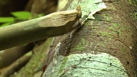 Water dripping over a tree. A hand held, close up shot of water dripping over a tree while someone take the serum from the bark with a big wooden stick stock video footage